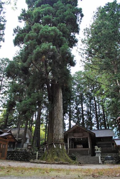 大山田神社大杉