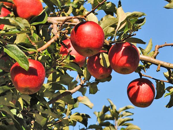 実ったりんご。