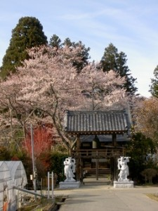 松源寺 桜
