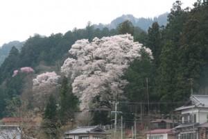 手塚原家の桜