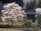 龍獄寺 桜